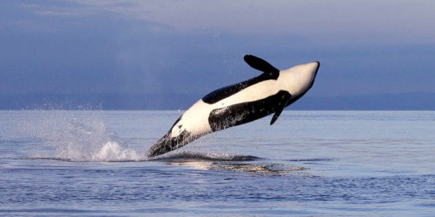 An endangered female orca leaps from the water while breaching in Puget Sound west of Seattle, as seen...