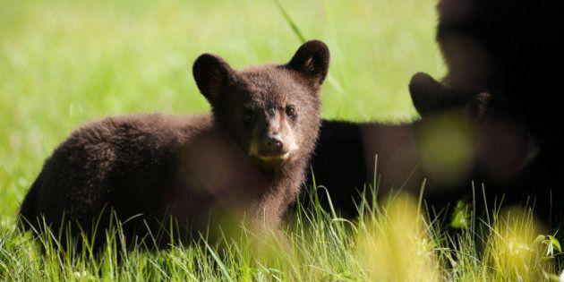 Killing More Bears Won't Reduce Human-Bear