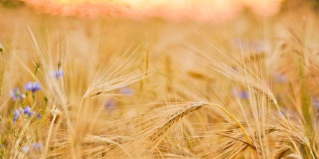 barley field with