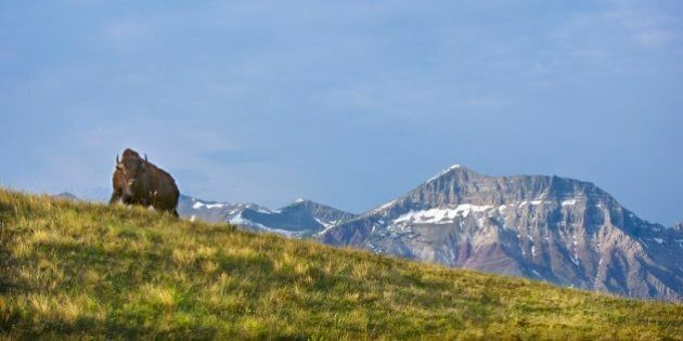Bison At Waterton National Park With Mountains In The
