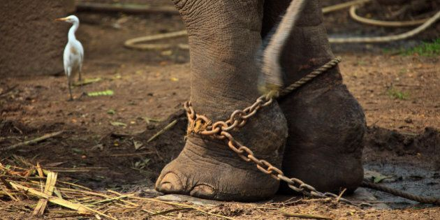 GURUVAYUR, KERALA, INDIA - DECEMBER 03: Indian elephant in the Annakotta Sanctuary with legs in chains,...