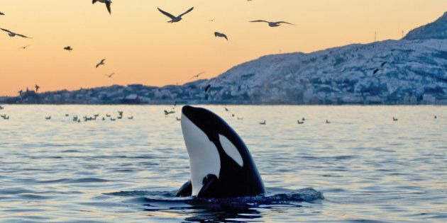 Big Orca Sunset