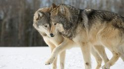 B.C.'s Wolf And Bear Hunting Policies Ignore The