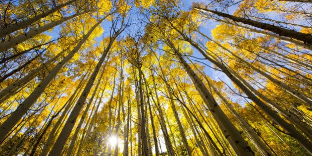 Aspen trees changing colors in the