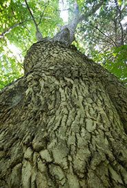 Canada's Old-Growth Forests an Environmental