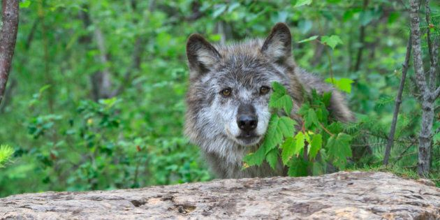 Grey wolf, Canis lupus, hiding behind leaves. Columbia Valley, British Columbia, Canada