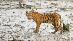 Working to Bring Back Tigers in