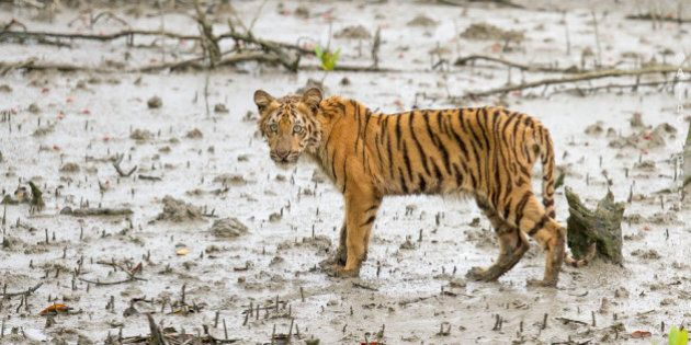 I have been travelling in the Indian National parks for the past 5/6 yrs and photographed many tigers...