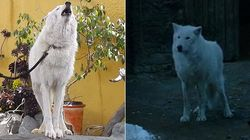 So, The Direwolves From Game Of Thrones Are Basically