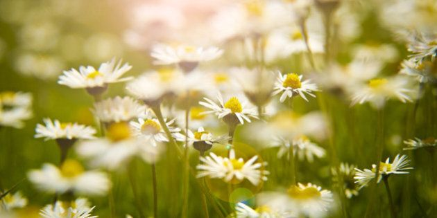 Close up of daisies in meadow