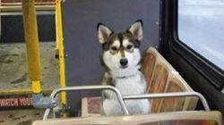 Lost Husky Gets Relaxing Bus Ride, Then Returns