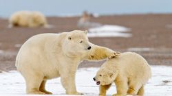 Polar Bear Ban-Wagon Targets Inuit