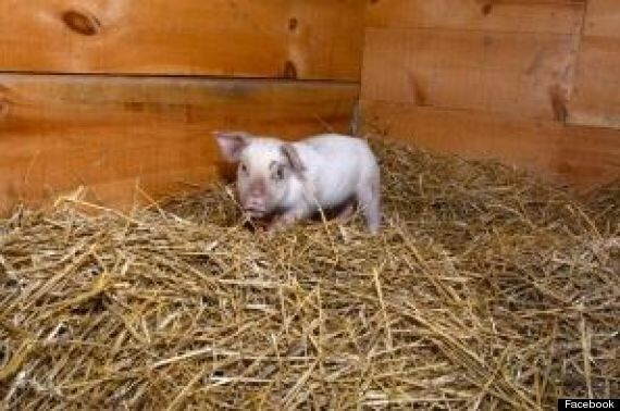 Yoda The Piglet Escapes Slaughterhouse, Finds