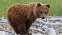 Grizzly Bears and So Much More in British