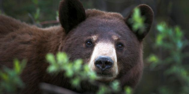 Bear Sightings At Waterton Lakes' Crandell Mountain Force Campers From