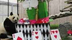 Toronto Panda Gets Alice In Wonderland-Themed 8th Birthday