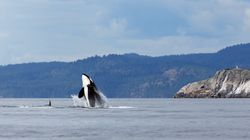 Curious Orcas Visit Whale Watchers In