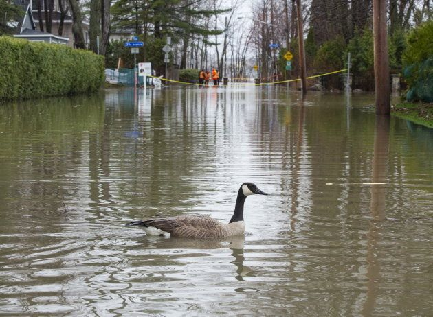 A goose makes its way through floodwaters on April 24, 2019 in Laval,
