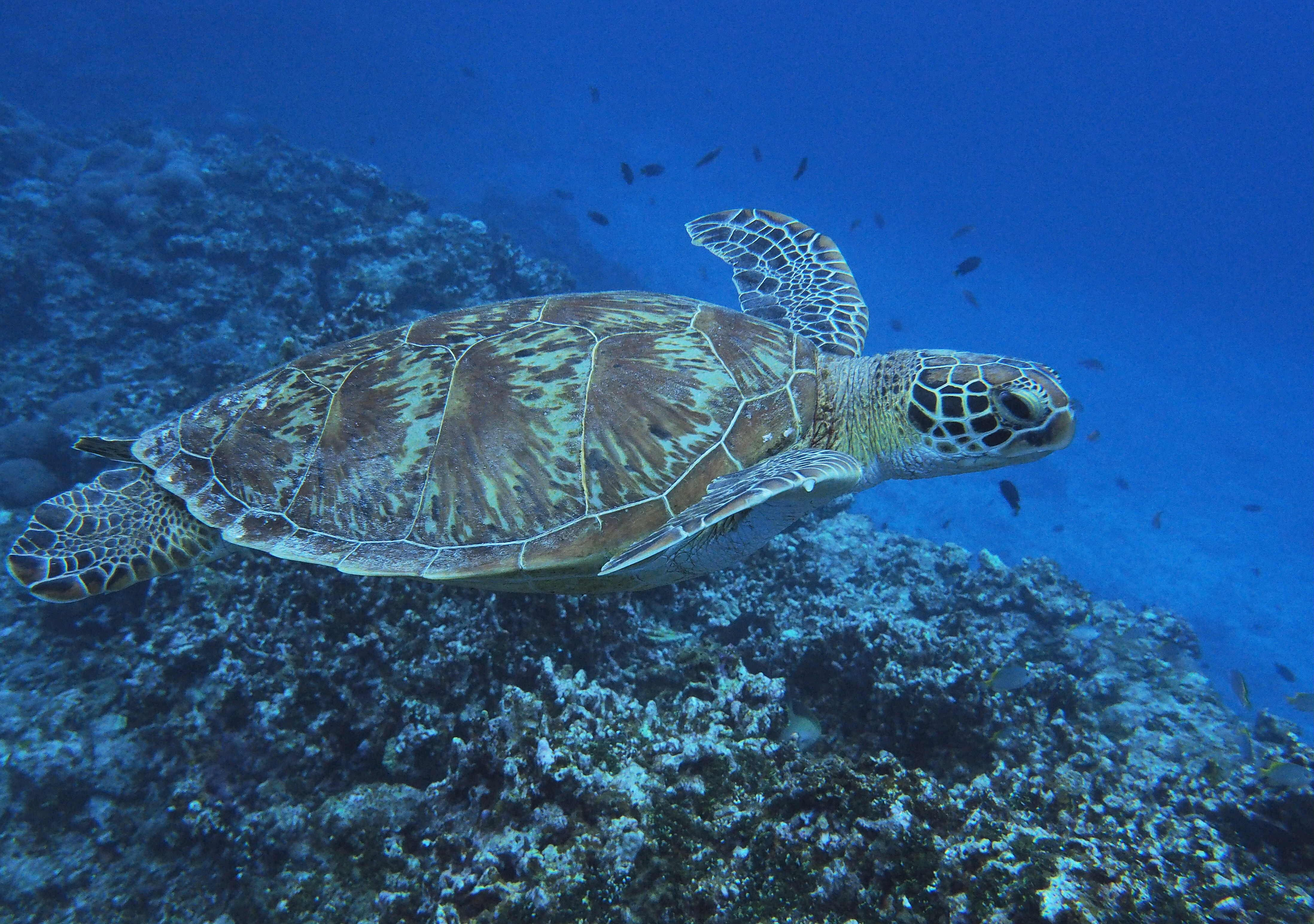 皇室行事に使われたアオウミガメの甲羅。絶滅危惧種なのにどうやって入手?