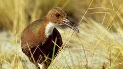 Disparu il y a 136.000 ans, cet oiseau est revenu à la