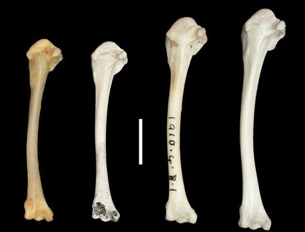 Pour mener leur étude, les chercheurs ont étudié ces os fossilisés de