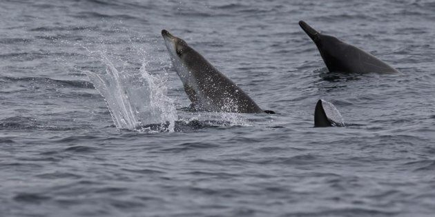 Sowerby's Beaked whales are seen in a marine protected zone off the Nova Scotia coast. Scientists have...