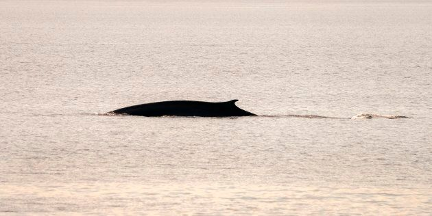 A fin whale swims in the waters of Cape Cod Bay on April 14, 2019 near Provincetown,