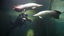 Un poisson géant d'Amazonie sauvé de