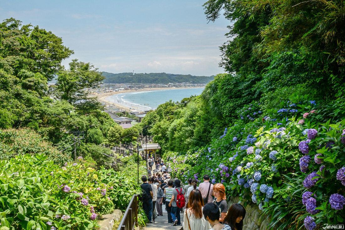 鎌倉江之島紫陽花