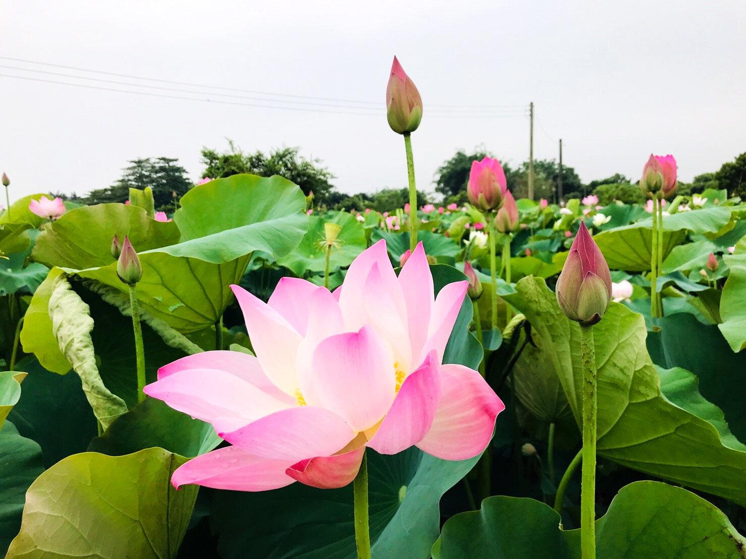 (圖片來源:白河蓮花季活動官網)