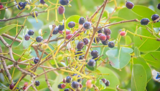 Jamun: The Miracle Cure You Must Know
