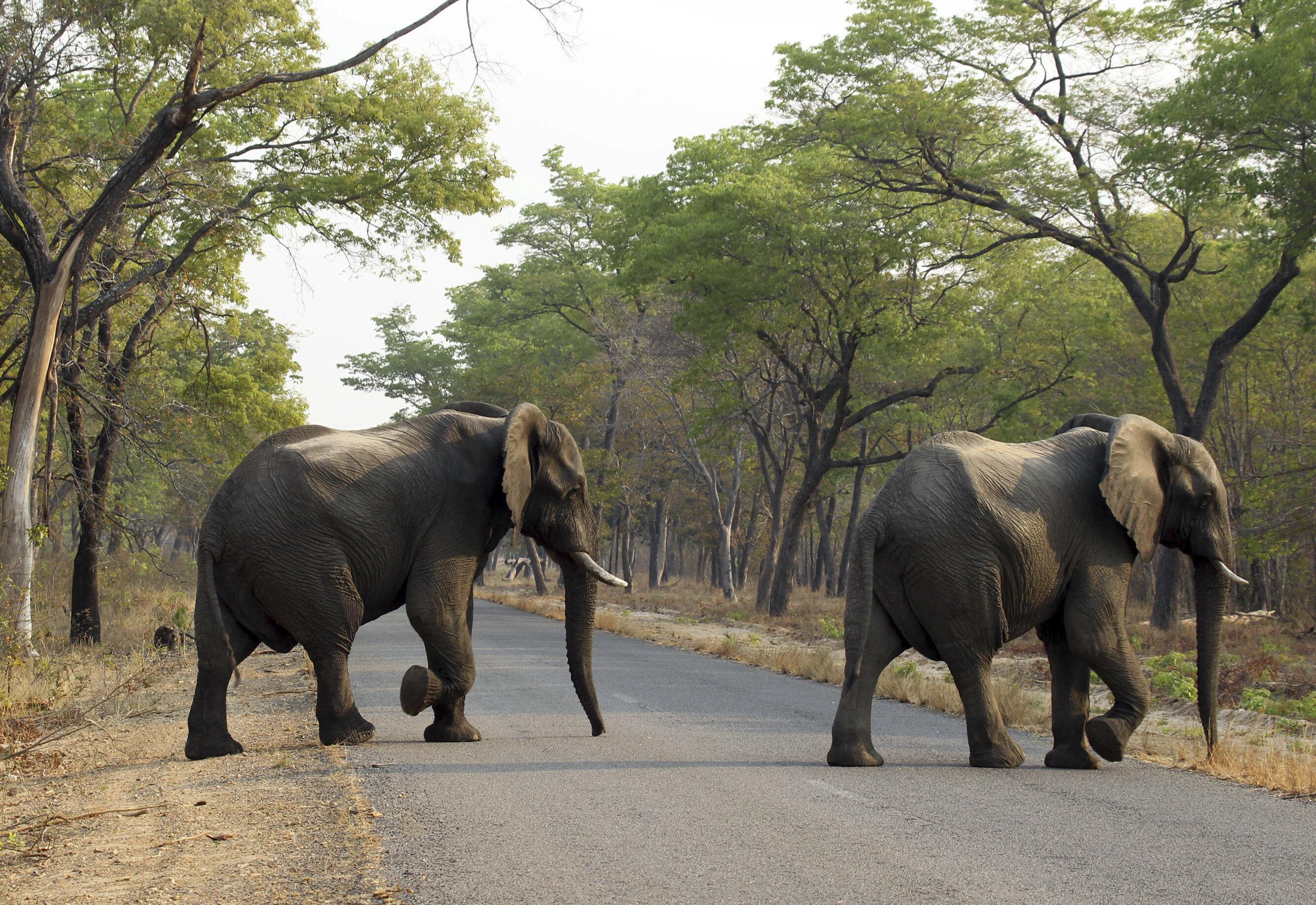 Ζιμπάμπουε: Ο υπερπληθυσμός των ελεφάντων οδηγεί στην πώληση
