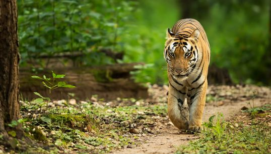 Remember Tigress Avni? Now Her Cub Is Giving Officials The