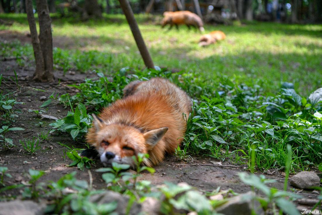 立刻捕獲一隻狐狸!