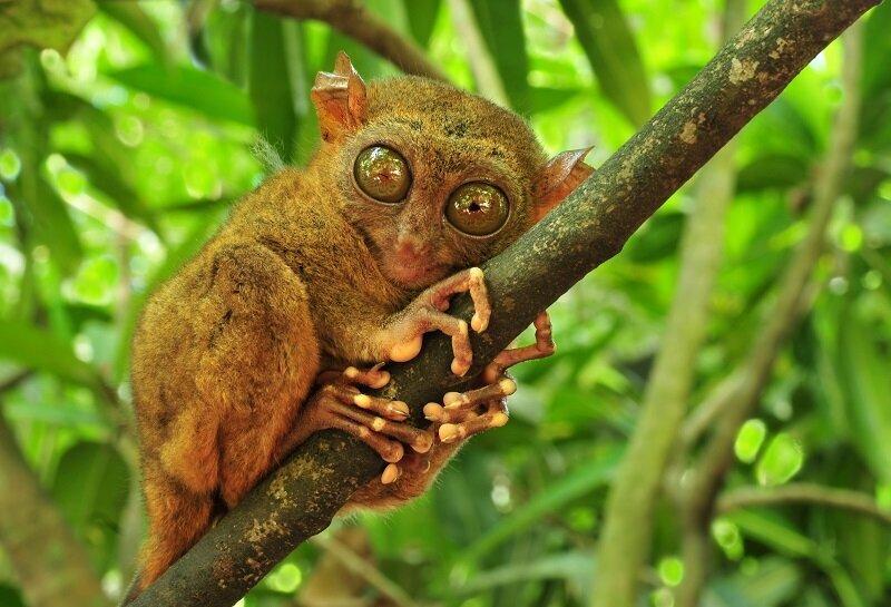 身長只有10~12公分的眼鏡猴,是薄荷島最可愛的小精靈。(圖/shutterstock.com)