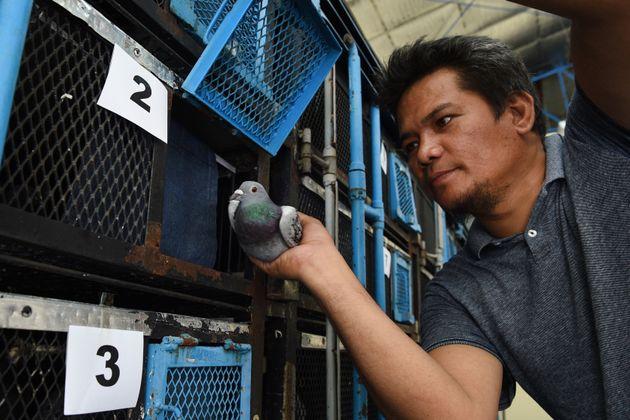 L'odyssée impitoyable des pigeons voyageurs