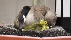 Hello Spring! And Hello to Edmonton's Newest Goose-Cam