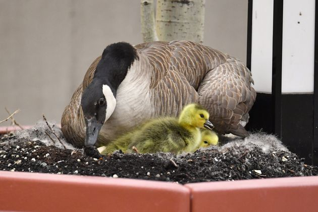 A family of geese has settled onto the roof of the Royal Alexandra