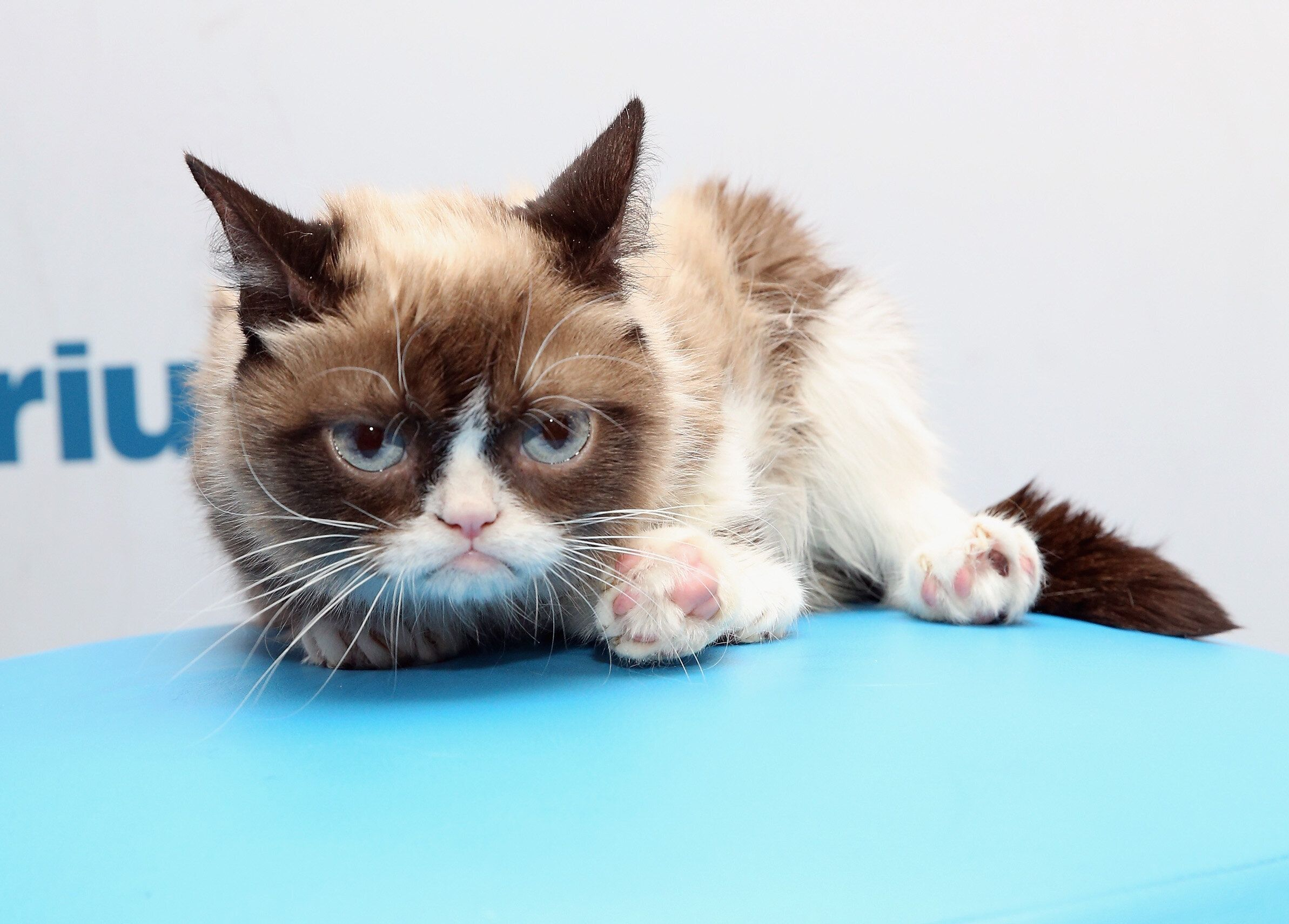 NEW YORK, NY - OCTOBER 09:  Grumpy Cat visits at SiriusXM Studios on October 9, 2015 in New York City.  (Photo by Robin Marchant/Getty Images)