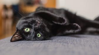black cat chilling on a gray sofa at home
