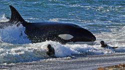 Το σχέδιο απελευθέρωσης των φαλαινών εγκυμονεί κινδύνους για την υγεία