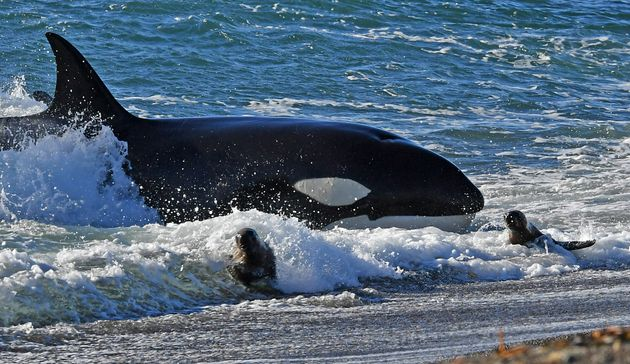 Ρωσία: Το σχέδιο απελευθέρωσης των φαλαινών εγκυμονεί κινδύνους για την υγεία