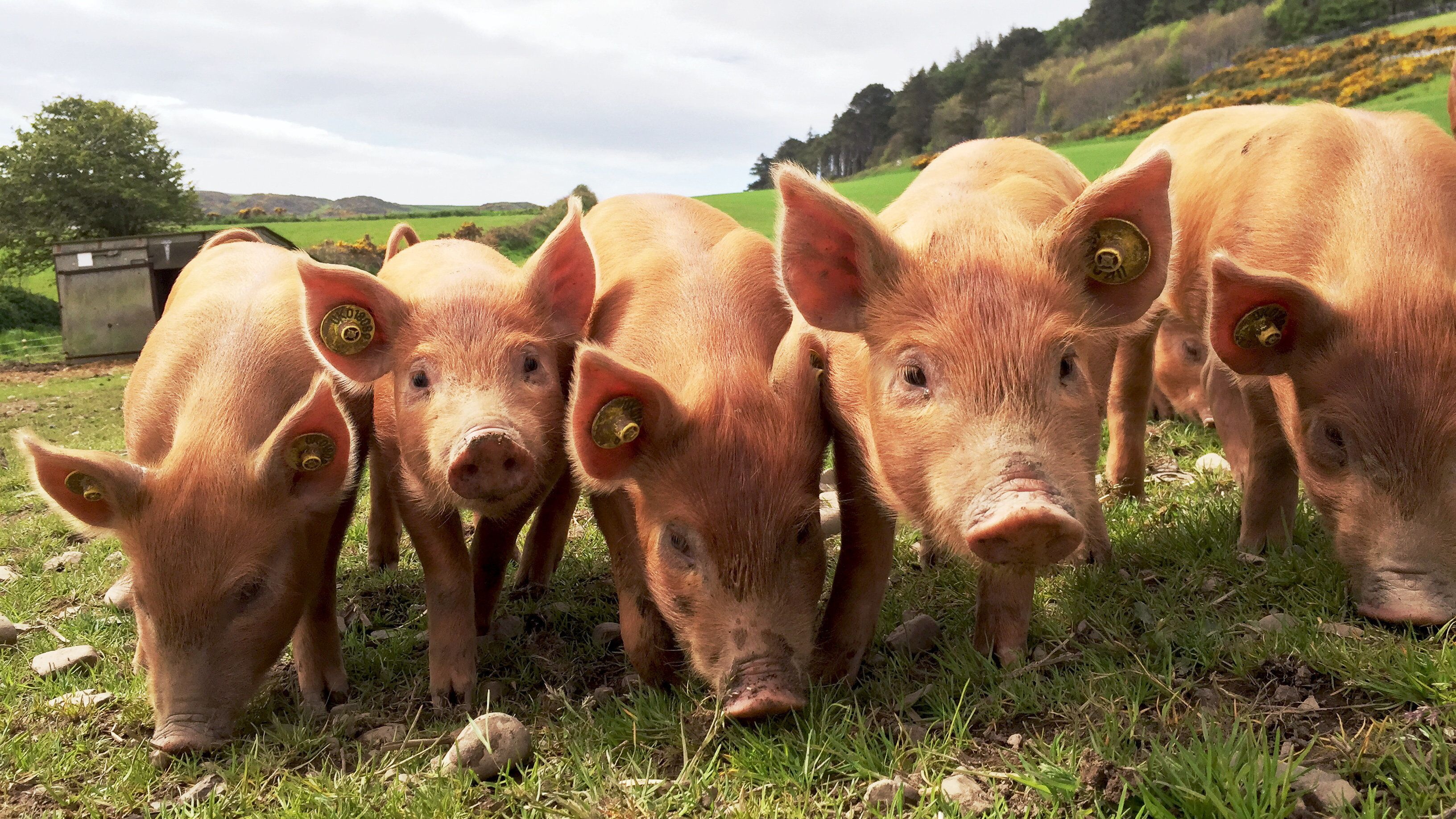 Down, Up, Down, Up, DownSynchronised piglets in a row in Isle of Man, United Kingdom. Photo by: Bruno Guerreiro