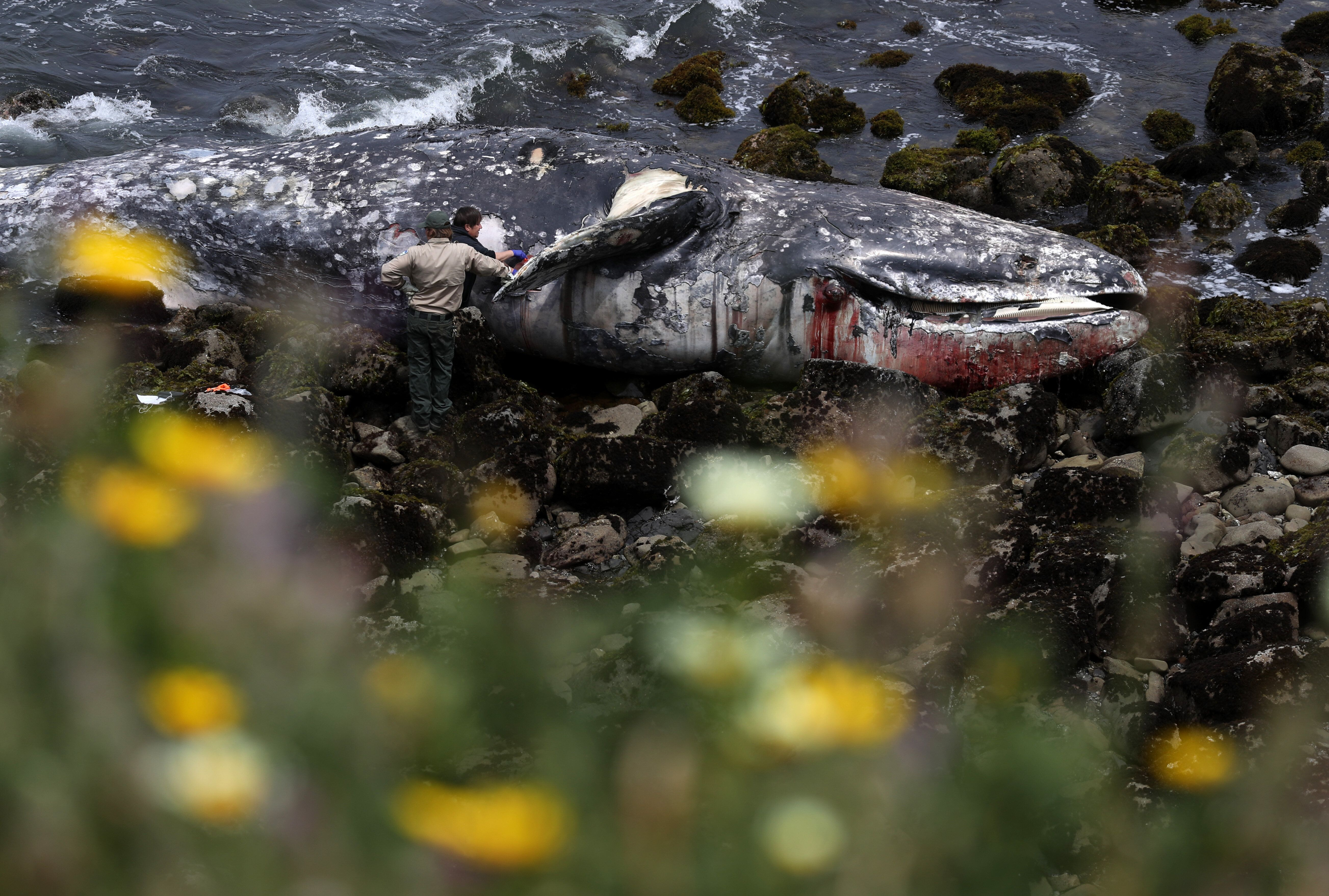 Dozens Of Starved Gray Whales Are ...