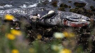 PACIFICA, CALIFORNIA - MAY 14: A Pacifica City worker (L) and a representative from the California Academy of Sciences (R) inspect a dead gray whale as it sits on the beach near Pacifica State Beach on May 14, 2019 in Pacifica, California. A tenth gray whale since March has washed up dead on shore in the San Francisco Bay Area. Necropsies performed on 8 of the ten whales have determined that 4 of the whales died of malnutrition and 4 were killed by ship strikes. (Photo by Justin Sullivan/Getty Images)