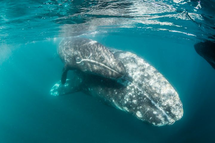 A gray whale mother and calf.
