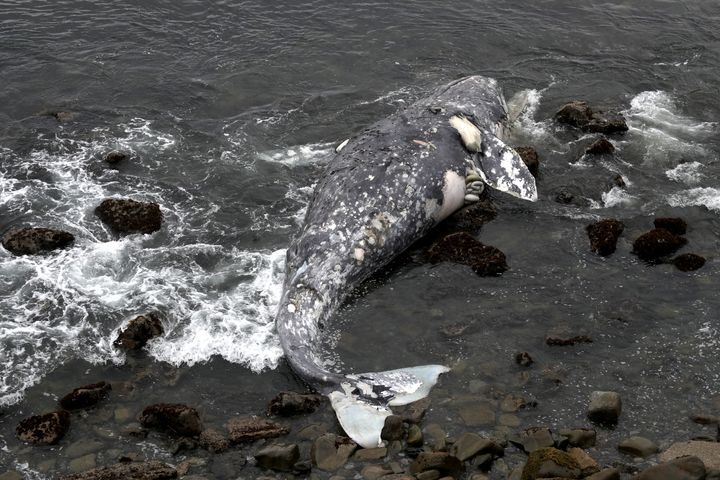 A dead gray whale near Pacifica State Beach on May 14.