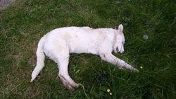 Cerca di difendere la mandria dai ladri: cucciolo di maremmano ucciso a