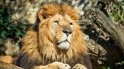 Une jeune femme blessée par un lion près de