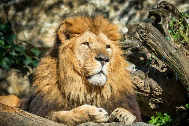 Une jeune femme a été blessée par un lion près de Rennes. (photo